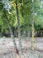 龟甲竹供应/龟甲竹图片