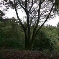 急售一棵叢生樸樹80公分