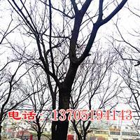 樸樹,樸樹價格,樸樹市場行情,南京樸樹*新價格,樸樹基地