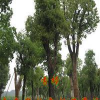香樟價格|南京香樟價格|樸樹價格|杜仲價格|黃連木價格