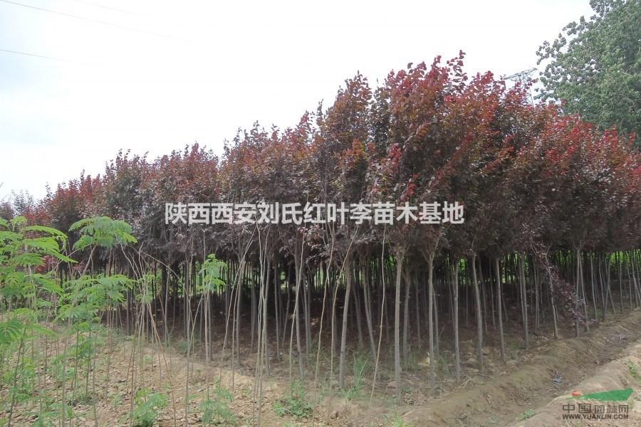 陕西西安刘氏红叶李苗木基地