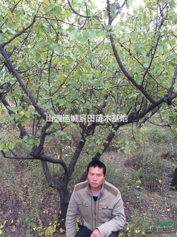 山西大山杏价格·大山杏树15公分·20公分大山杏价格