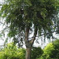 黃連木價格|南京黃連木價格|榔榆價格|樸樹價格