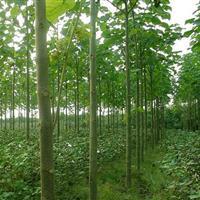 泡桐树 12-20cm