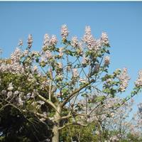 安徽泡桐树价格 12-20cm