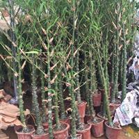 佛肚竹小苗,佛肚竹盆景,3-8佛肚竹新价格,哪里有佛肚竹