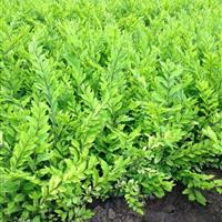 金边水蜡苗价格,金叶水腊新价格,黄叶水腊绿篱苗