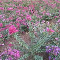 園林綠化小區綠化矮紫薇  矮紫薇小苗  工程苗