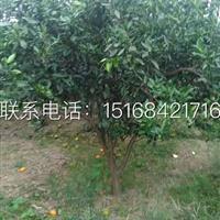 橘子树 桔子树树形好 质量好 低价处理中!!