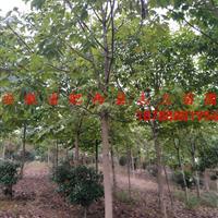 安徽七叶树 _肥西七叶树_七叶树价格_七叶树基地