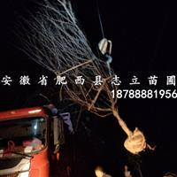 安徽红叶桃_肥红叶桃_西红叶桃价格2-15cm量大出售