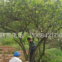 浙江专业的果树供应商 常年提供低价质量好的果树苗 胡柚树