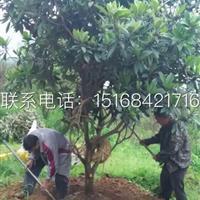 常年低价供应 质量好 价格低的果树 枇杷树 琵琶树 柚子树等
