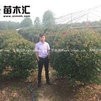 红叶石楠球价格_红叶石楠球产地_红叶石楠球绿化苗木苗圃基地