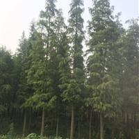 出售落羽杉,池杉,湖南落羽杉直销,湖南池杉便宜