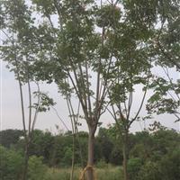 大量供應工程黃山欒樹