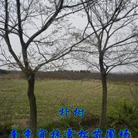 樸樹價格|南京樸樹價格|無錫樸樹價格