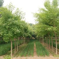 五角枫图片-五角枫价格-绿化苗木苗圃基地直销