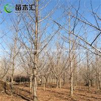 实生银杏图片-实生银杏价格-绿化苗圃苗木树批发直销