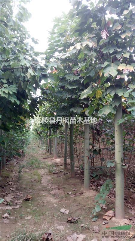 鄢陵县丹枫苗木基地