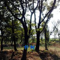 樸樹價格|5-12公分樸樹價格|重陽木價格|無患子價格