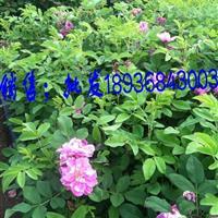 四季玫瑰江苏价格,四季玫瑰50公分高,四季玫瑰适应新疆工程种