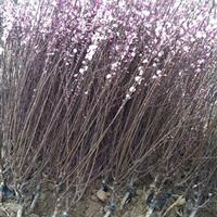 榆叶梅种子价格,榆叶梅3公分粗,嫁接榆叶梅绿篱