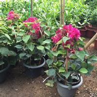 红花三角梅50公分高,三角梅适应全国种植盆栽,三角梅批发