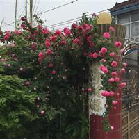 多花蔷薇攀岩苗,蔷薇种子供应商,蔷薇适应栅栏攀岩