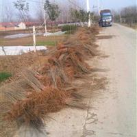 水腊二年苗价格,水腊适应西北地区绿篱,水腊30-60公分