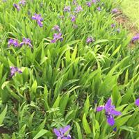 鳶尾江蘇基地,鳶尾種子批發,鳶尾藍花