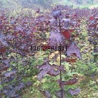 供应红国王挪威槭|红国王挪威槭市场行情