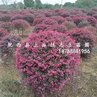 安徽红花继木球、肥西红花继木球基地、合肥红花继木球价格、