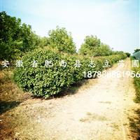 安徽红叶石楠球、肥西红叶石楠球价格、红叶石楠球基地冠150供