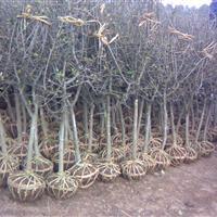 3-4公分垂絲海棠,帶土球,量大。價廉