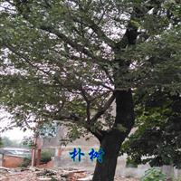 樸樹價格|南京樸樹價格|香樟價格|南京烏桕價格
