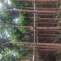 供应芒果树/广东芒果/哪里有芒果树/哪里的芒果便宜