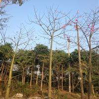广东美人树/哪里有美人树/哪里有美丽异木棉/哪里的美人树便宜