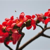 供应木棉/广东木棉/红花木棉/哪里有木棉/哪里有攀枝花