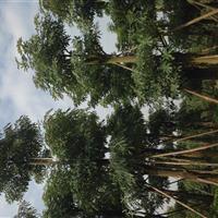 供应盆架子/广东盆架子/灯台树/哪里有盆架子/哪里有灯台树
