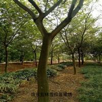 樸樹|樸樹價格|大規格樸樹怎么移栽