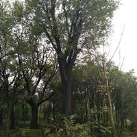 安徽地区供应50公分朴树 有需要联系