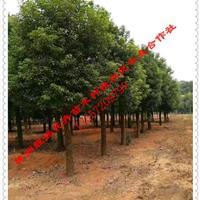 基地直供湖南香樟,大叶樟,小叶樟,截杆香樟,移栽香樟等品种