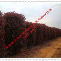 基地直供80、100、120、150、180公分红叶石楠球
