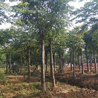 基地直供湖南,黄山栾树,野生栾树,截杆栾树等品种