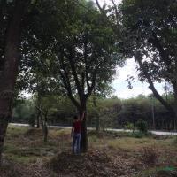 浙江大規格移栽香樟圖片