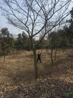 精品樸樹供應/精品樸樹圖片