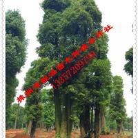 基地直供湖南香樟、香泡,香缘、红叶李、红枫、青枫等优质苗木