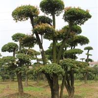 各种造型柞树