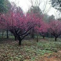 江苏梅花基地星星园林供应红梅,腊梅,垂梅,榆叶梅,开花鲜艳